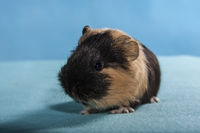 shorthair guinea pig baby