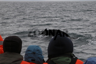 Watching a humpback whale (Megaptera novaeangliae) on a tour on the Skjálfandi Bay near Húsavík