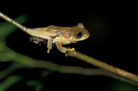 Tree frog (Hylidae spec.)