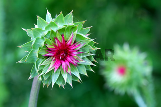 Musk Thistle (Carduus nutans) Wisconsin