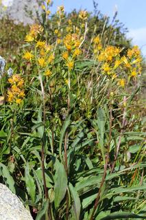 Solidago virgaurea ssp minuta, Alpen-Goldrute, Goldenrod