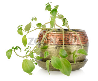 Potted plant isolated