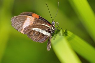 Tropischer Schmetterling Heliconius melpomene