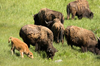 American Bison (bison bison) grazing with baby calf in Yellowstone National Park