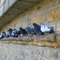 Pigeons at the wall