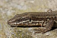Lacerta vivipara, Viviparous lizard, Common lizard