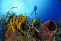 Giant caribbean tube sponge and scuba diver