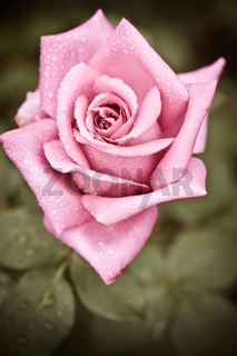 Beautiful pink rose flower with water drops
