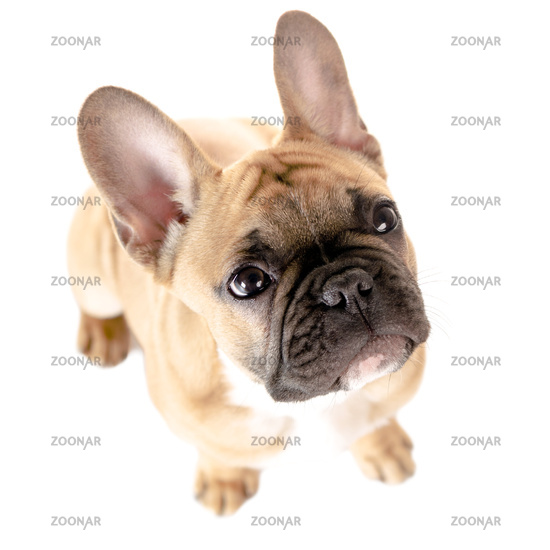 French Bulldog in front of white