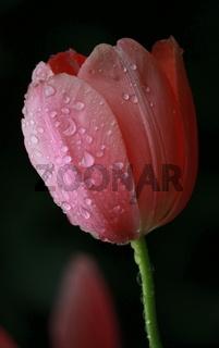 tulpe mit regentropfen