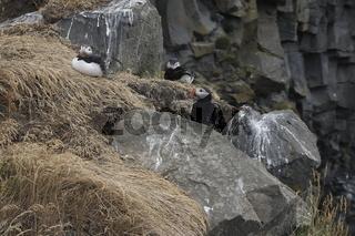 Atlantic Puffins (Fratercula arctica)