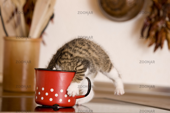cat / kitten licking milk from milk-pot