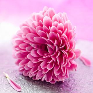 kleine Chrysantheme