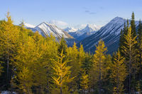 yellow larches