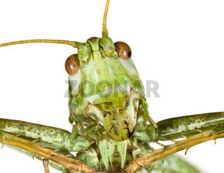 Grasshopper Head
