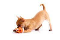 Chihuahua Welpe beim Spielen