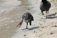 Eurasian Coot with crawfish