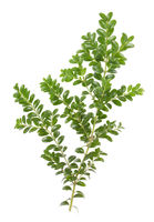 Boxwood xmas branch isolated