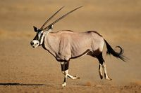 Running gemsbok antelope