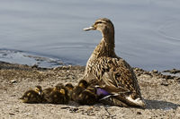 Anas platyrhynchos, female Mallard and young ducks