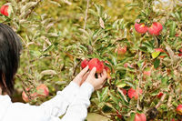 Picking apple from branch