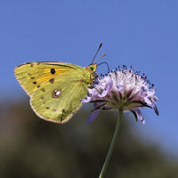 Colias crocea, Clouded Yellow on Scabious flower