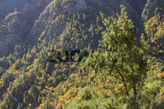 Pine tree in the Bhagirathi valley