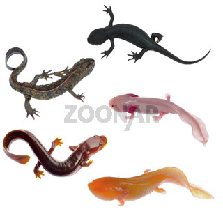 newt salamander collection