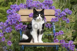Hauskatze auf Gartenstuhl vor Storchschnabellblüten, cat on a chair with violet garden flowers