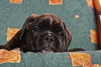 lying Boxer dog puppy in a chair