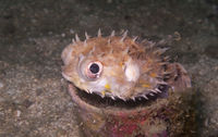 burrfish, pufferfish in a cup underwater