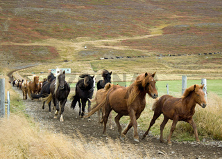Pferdeabtrieb in Island