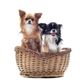 chihuahuas in basket