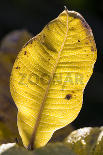 Blatt des echten Alant (Inula helenium)