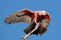 Galah Cockatoo, Australia