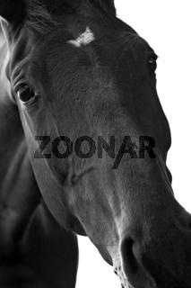 Pferdeportrait (monochrome)