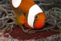 saddleback anemone fish with eggs
