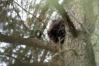 Stachelschein auf Baum Yukon Kanada