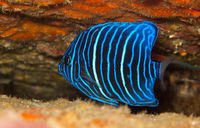 juvenile blue ring angel fish