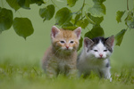 zwei kaetzchen auf Wiese, two kitten on a meadow