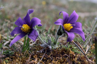 Gewöhnliche Kuschelle, Pulsatilla vulgaris, Pasque Flower