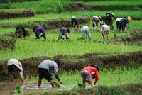 Arbeit auf den Reisfeldern von Nordvietnam