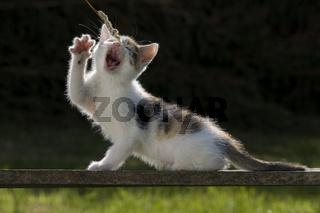 Katze/Kaetzchen spielt auf Holzbrett im Gegenlicht, Cat/Kitten playing on wooden board in back light