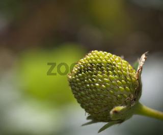 grüne Erdbeerfrucht