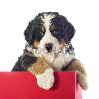 puppy bernese moutain dog in a box