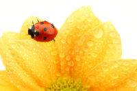 ladybug on yellow flower isolated white background