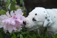 Dalmatian puppy, three weeks old smells at flowers