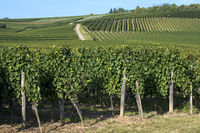 Pinot noir vineyard near Westhalten, Alsace,France