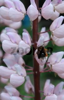 Lupineblüte mit hummel 4