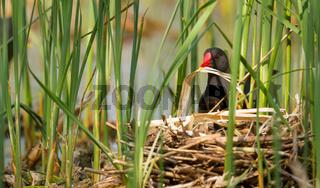 A moorhen building a nest
